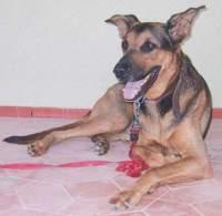 Mein Hund Jerry, Schäferhund-Dobermann Mischling er hatte es faustdick hinter den großen Ohren