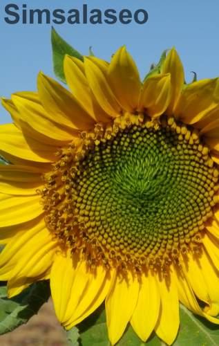 Simsalaseo Sonnenblume